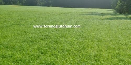 Ot Tipi Teff Grass Yem Bitkisi Tohumu