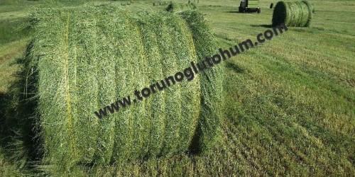 Teff Grass Otu Tohumu Fiyatı